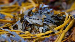 seaweed- foraging- ecology-walk- renvyle-connemara-G1