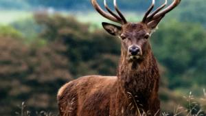 Wild Red Deer Safari Connemara