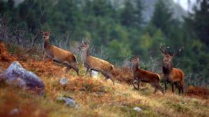 wild-deer-safari-connemara-galway-G3