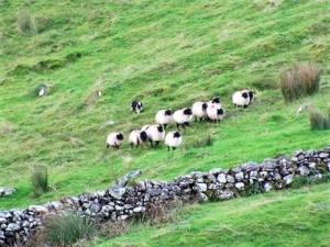 dog herding sheep 3